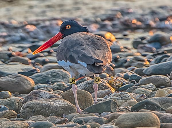 Cape Poge Oyster Catcher