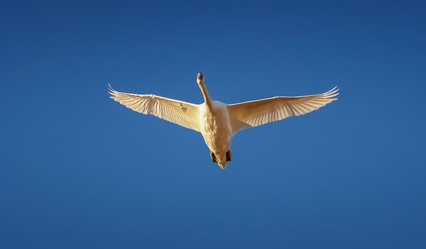 Long Point Blue Sky Swan Art | Michael Blanchard Inspirational Photography - Crossroads Gallery