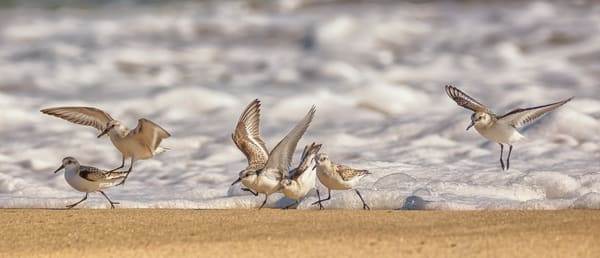 Lucy Vincent Sanderlings at Play