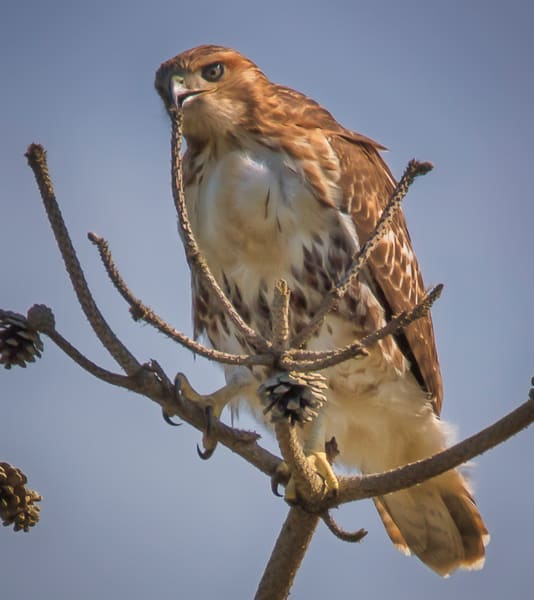 South Beach Red Tailed Hawk Tree Branch