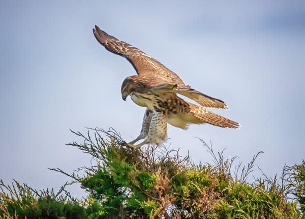 South Beach Red Tailed Hawk Landing Art | Michael Blanchard Inspirational Photography - Crossroads Gallery