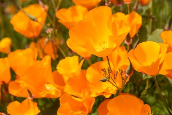 California Poppies, Escondido, California