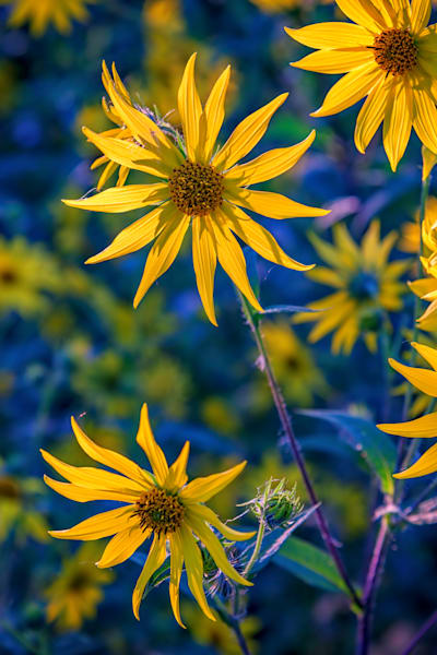 Sunflowers in Bloom by Rick Berk