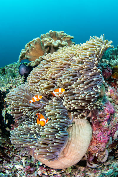 Clownfish Trio is a fine art photograph available for sale