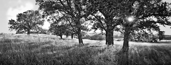 If You Love Trees Collection - bw | Pasture Oaks, Morning Light - bw. A peaceful oak tree meadow. Fine art black and white photograph by artist David Zlotky.