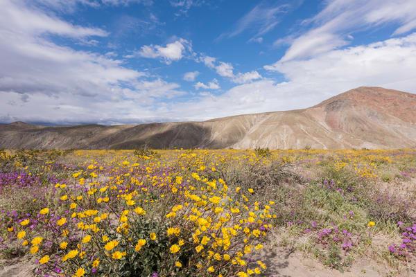 Desert Sunflower Super Bloom, Borrego Springs, California