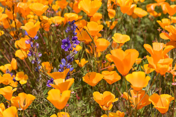 California Poppies and Lupine Detail, Escondido, California