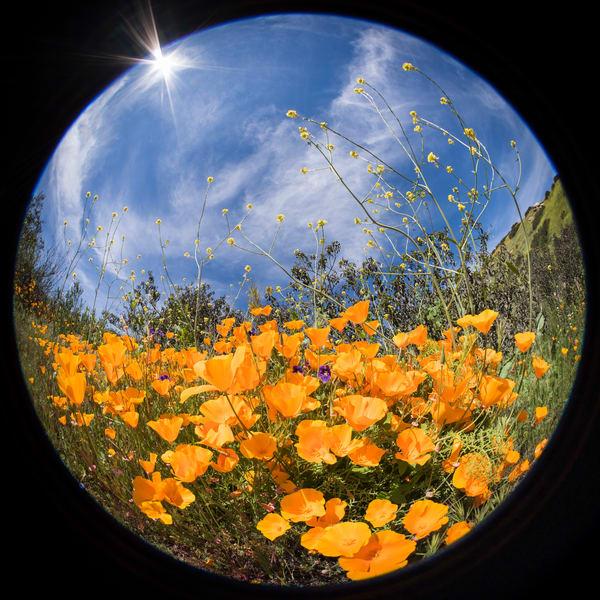 Circular California Poppies, Escondido, California