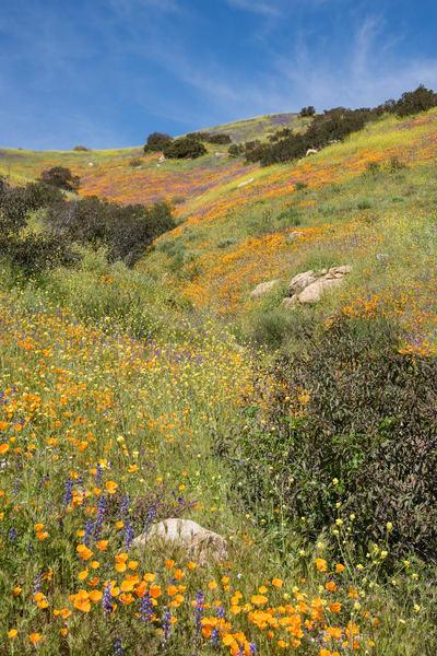 California Poppy Field, Escondido, California
