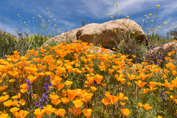 California Poppies on Rocky Hillside, Escondido, California