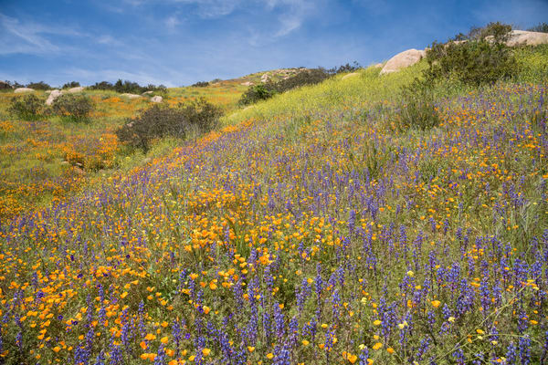 California Poppy Field and Lupine, Escondido, California
