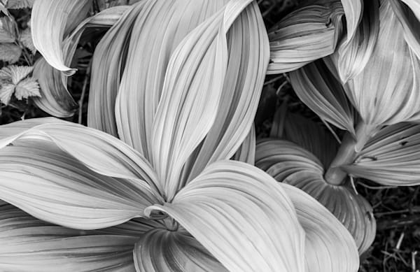 Wild Lilly of the Valley | Mt. Roberts, Juneau, AK