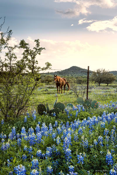 quintessential texas hill country scene with horse and bluebonnets