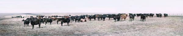 Panoramas/Wide View Collection - color | Flint Hills Portrait, Eastern Kansas - color. Panoramic herd of cattle. Fine art photograph by David Zlotky.