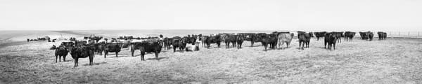 Panoramas/Wide View Collection - color | Flint Hills Portrait, Eastern Kansas - color. Black and white fine art photograph of photogenic cattle.