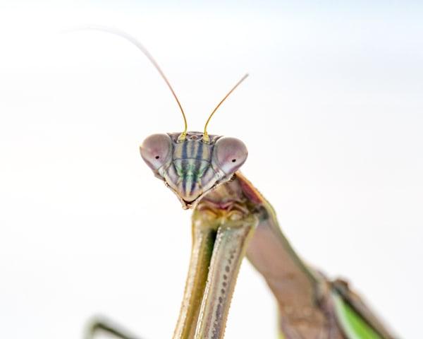 10 Mantis