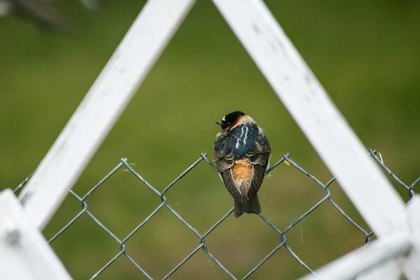 Garden Swallow