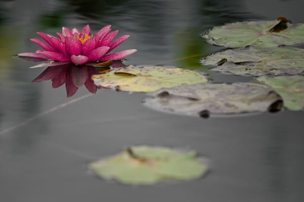 lily flower and lily pads in water