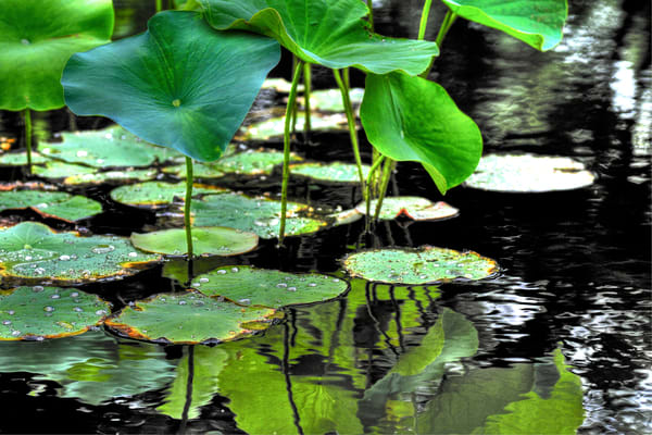 lily pads in black water