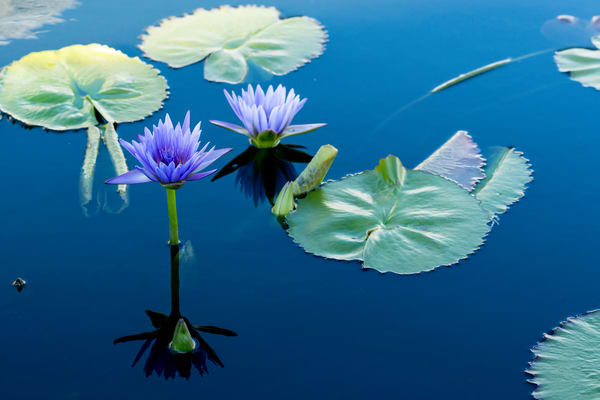 purple lily pad flower photography