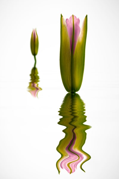 lily flower bud floating over water     Brad Oliphant