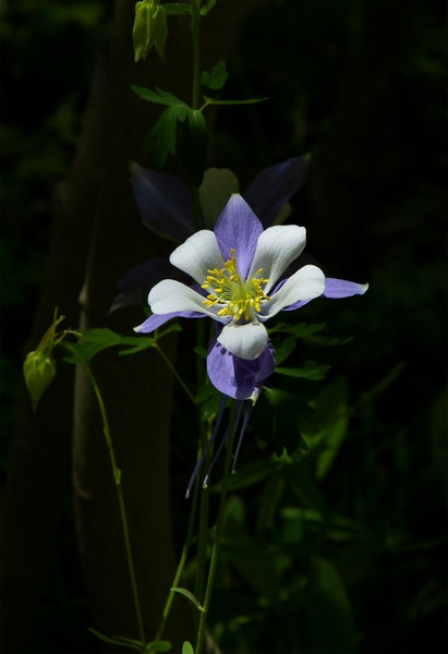 Colorado Blue Columbine - shop art/masonandmasonimages.com
