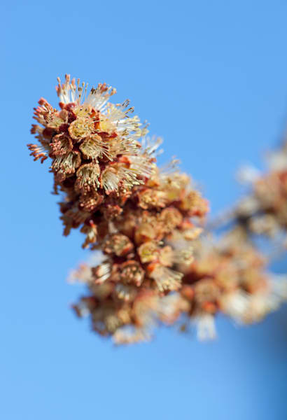 Silver Maple flowers and blue sky - shop prints | Closer Views