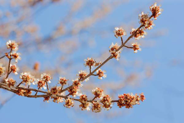 Silver Maple flowers fill a blue sky - shop prints | Closer Views