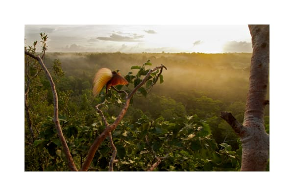Greater Bird-of-Paradise displays with the mist-covered rain forest below in Aru Islands, Indonesia.