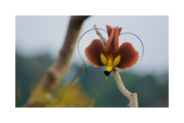 Red Bird-of-Paradise in the shape of a heart.