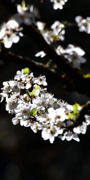 Spring White Blossoms P