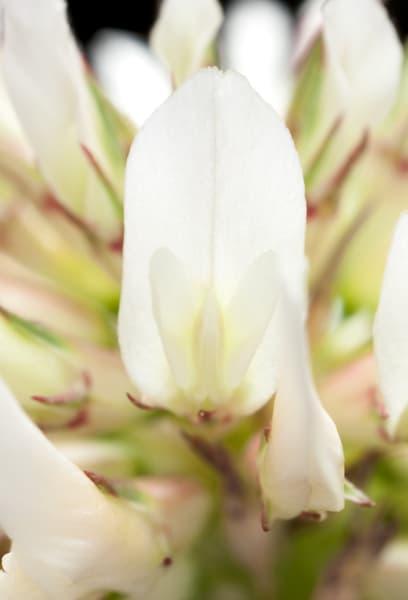 White clover flower macro, 4x life-size - shop prints | Closer Views
