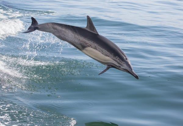 Dolphin Leap Decending Photography Art | Leiken Photography