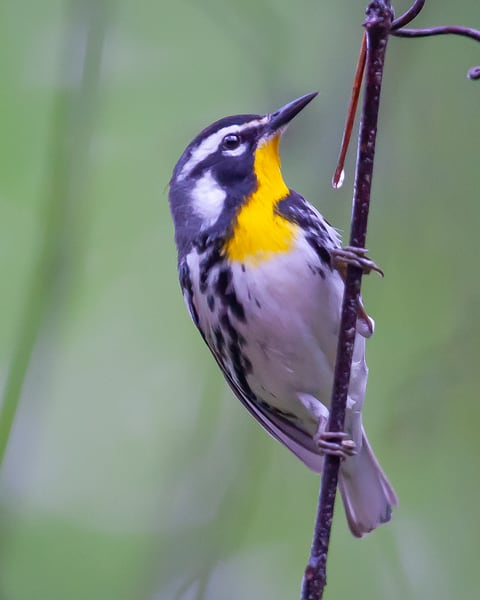 Yellowthroated Warbler