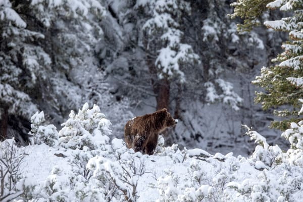 Grizzly Bear Pictures | Robbie George Photography