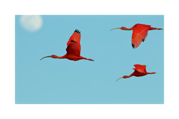 Scarlet Ibises (Eudocimus ruber) flying though the sky with the moon behind them.