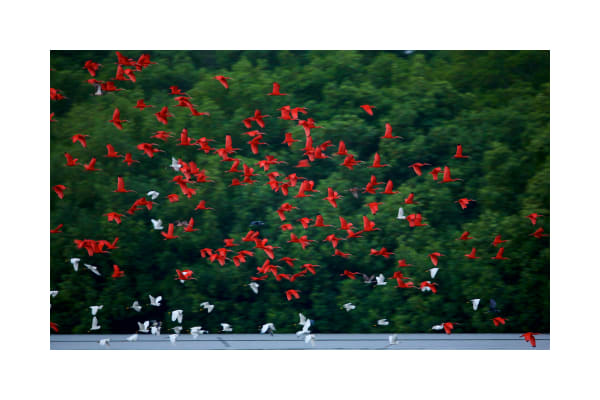 Scarlet ibises and snowy egrets flying out from their mangrove roosting trees before sunrise in the Caroni Swamp.