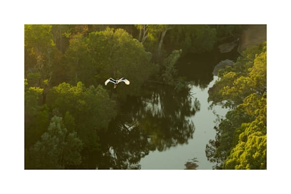 Black-necked Stork (Ephippiorhynchus asiaticus) flying over Archer River and adjacent gallery forest.