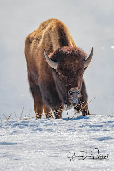 BISON,WINTER