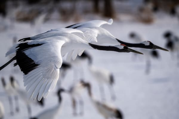Red crowned crane pair in flight