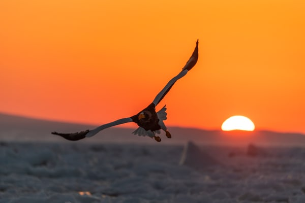 Eagle and Drift ice at Sunrise