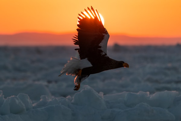 Rising sun behind an eagle flying on drift ice