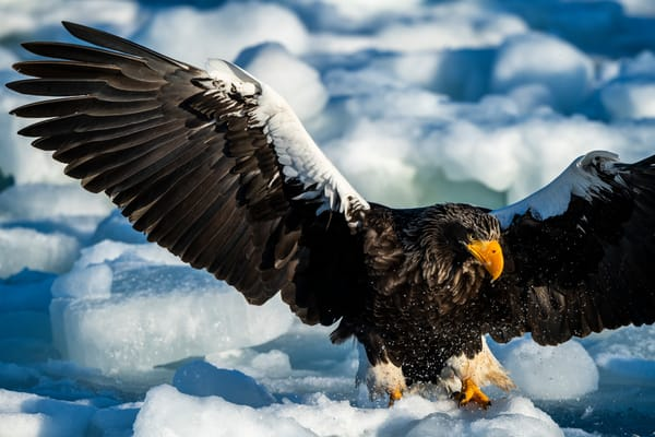 A stellar sea eagle is landing
