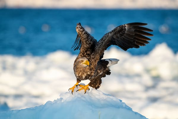 A white tailed eagle is about to fly