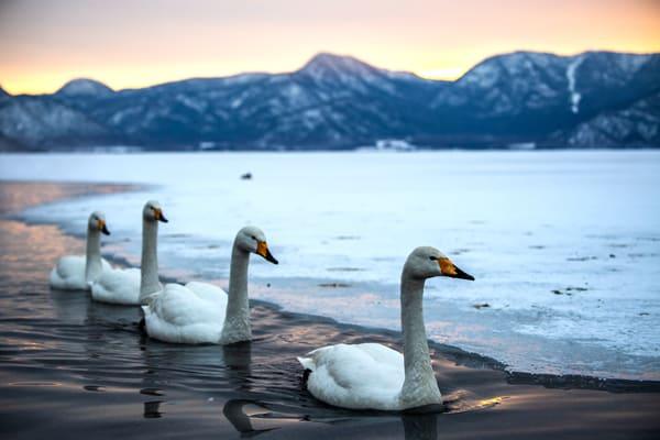 Great whooper swans in Kussharo lake