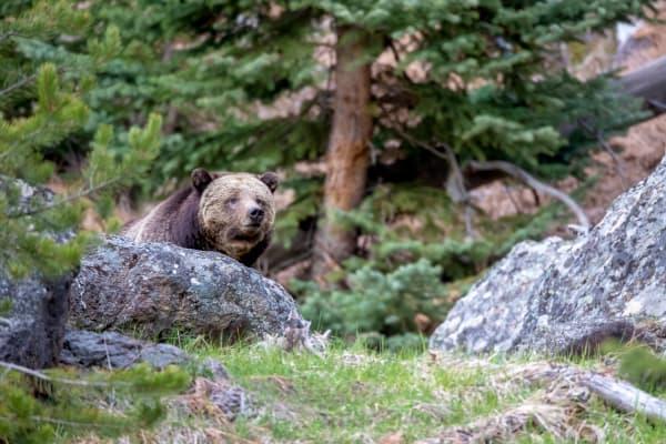 Yellowstone Bears | Robbie George Photography