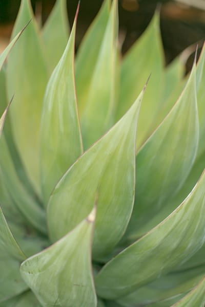Agave 3 Photography Art | allysonmagda