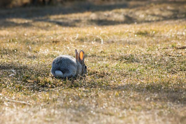 Grazing Cottontail