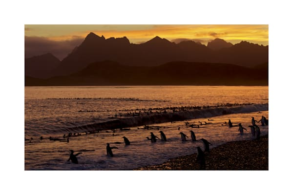 King Penguins at sunset on Salisbury Plain, South Georgia.