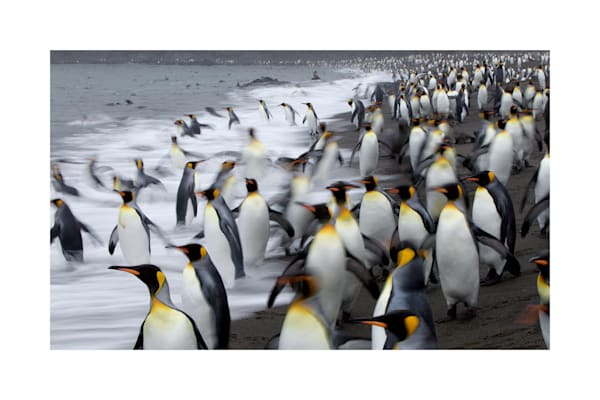 Photograph of king penguins in South Georgia.